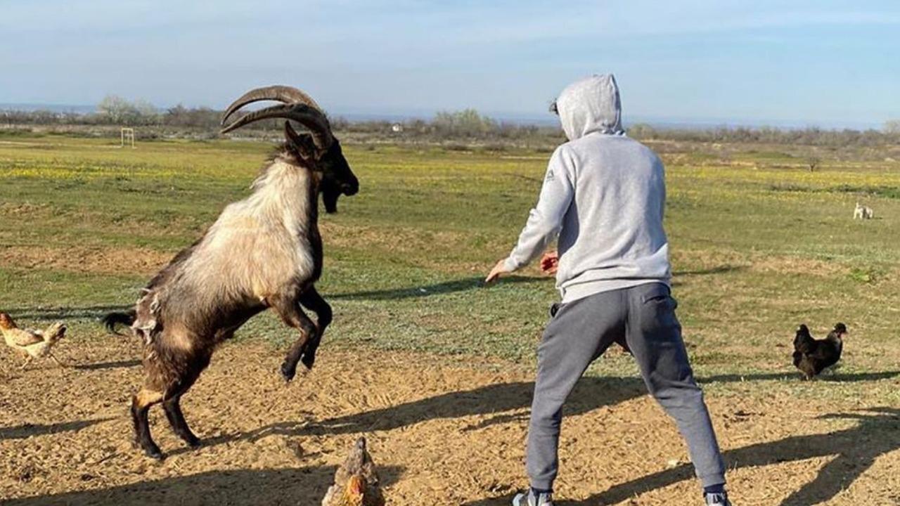 UFC News: Khabib wrestles bears....Zabit spars with a goat? - Zabit